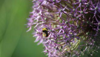 Allium giganteum et Bombus terrestris