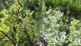 Eupatorium maculatum, Eragrostis elliottii, Eryngium giganteum, Scabiosa columbaria