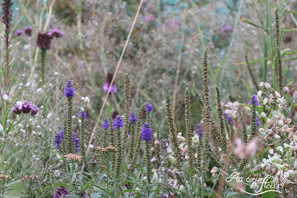 Veroncica longifolia, Silene vulgaris, Gypsophila paniculata....