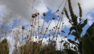 Inflorescences de Stipa gigantea, Papaver sommniferum et Verbascum thapsus