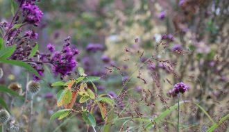 Vernonia crinata, Amelanchier lamarckii, Echinops bannaticus Panicum virgatum, Verbena bonariensis