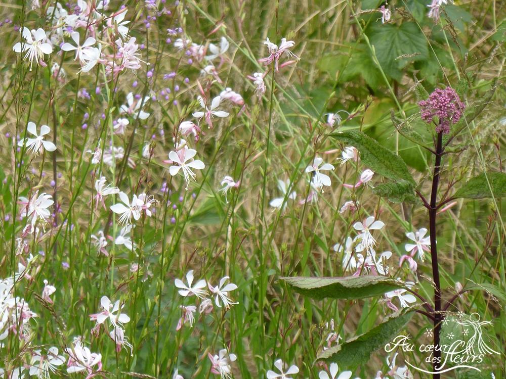 Gaura lindheimeri et Eupatoire maculatum